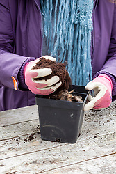 Planting a dahlia tuber in a pot in late winter or early spring