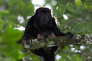 Alamor, Ecuador - Wednesday, Jan 09 2008: A male Black Howler Monkey (Alouatta caraya) sits on a branch near Hacienda Banderones near Alamor, Loja Province, Ecuador.  (Photo by Peter Horrell / http://www.peterhorrell.com)