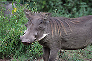 Africa, Tanzania, Lake Manyara National Park, Warthog (Phacochoerus africanus)