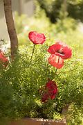 Blooming red poppy flowers in flowerpot sunlit in garden, France.