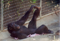 Unidentified female chimpanzee stretches out in her enclosure at the Oakland Zoo, Tuesday, Aug. 24, 2010 in Oakland, Calif. (D. Ross Cameron/Staff)