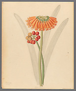 Cyrtanthus [Clivia nobilis] (1817) the green-tip forest lily, from a collection of ' Drawings of plants collected at Cape Town ' by Clemenz Heinrich, Wehdemann, 1762-1835 Collected and drawn in the Cape Colony, South Africa