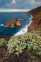 A Sweet Tabaiba or Tabaiba Dulce (Euphorbia balsamifera) The Punta Gorda coast protected area, in the Northwest of La Palma Island, Canary Islands, Spain.