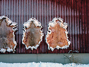 Reindeer skins stretched out to dry on a factory wall on 19th February 2020 near Tepasto in Finnish Lapland. Reindeer and reindeer husbandry play an important role in the region with the area used for grazing and breeding.