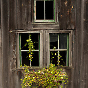 Weathered barn with windows and flowers, Bridgton, Maine