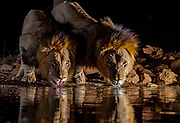 Male lions drinking in Zimanga private Reserve, South Africa.