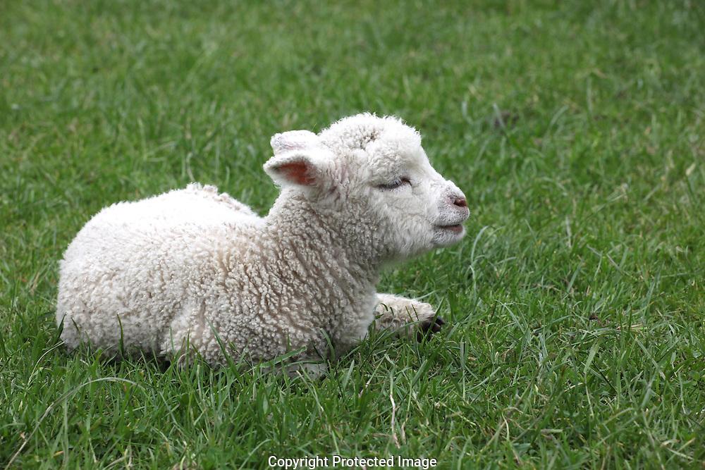 lamb near Rotorua,New Zealand.  Photograph by Dennis Brack