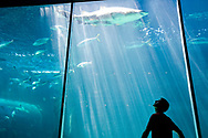 The sillhouette of a young adult man looking up at a shark in the Two Oceans Aquarium in Cape Town, South Africa. (Model Released)