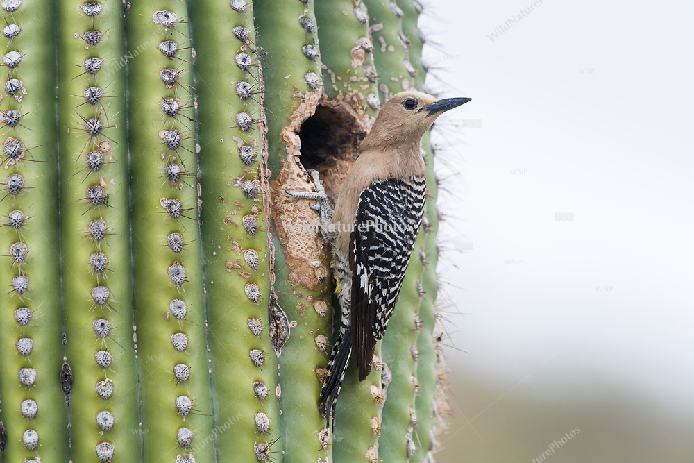 A female Gila Woodpecker (Melanerpes uropygialis) perches at her nest in a Saguaro (Carnegiea gigantea) after feeding her young.  Arizona