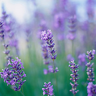 """Lavendula, """"Gray Lady,"""" a specific type of lavender. Lavender is a small aromatic evergreen shrub of the mint family, with narrow leaves and bluish-purple flowers. Lavender has been widely used in perfumery and medicine since ancient times."""