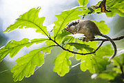 Juvenile forest dormouse (Dryomys nitedula) between oak leaves in summer day, Latgale, Latvia Ⓒ Davis Ulands | davisulands.com