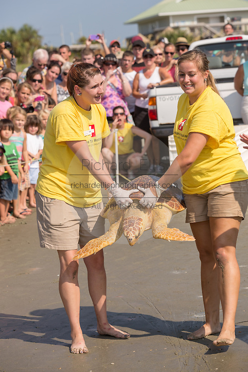 Marine biologists from the South Carolina Aquarium carry Mitchell, a 65-pound juvenile loggerhead sea turtle back to the ocean during the release of rehabilitated sea turtles August 6, 2014 in Isle of Palms, South Carolina. The turtle was found entangled in a fishing line, malnourished and covered in barnacles and rehabilitated by the sea turtle hospital at the South Carolina Aquarium in Charleston.