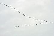 Nederland, Ooijpolder, 10-12-2020 Ganzen in volle v-vlucht boven de ooijpolder. Foto: ANP/ Hollandse Hoogte/ Flip Franssen