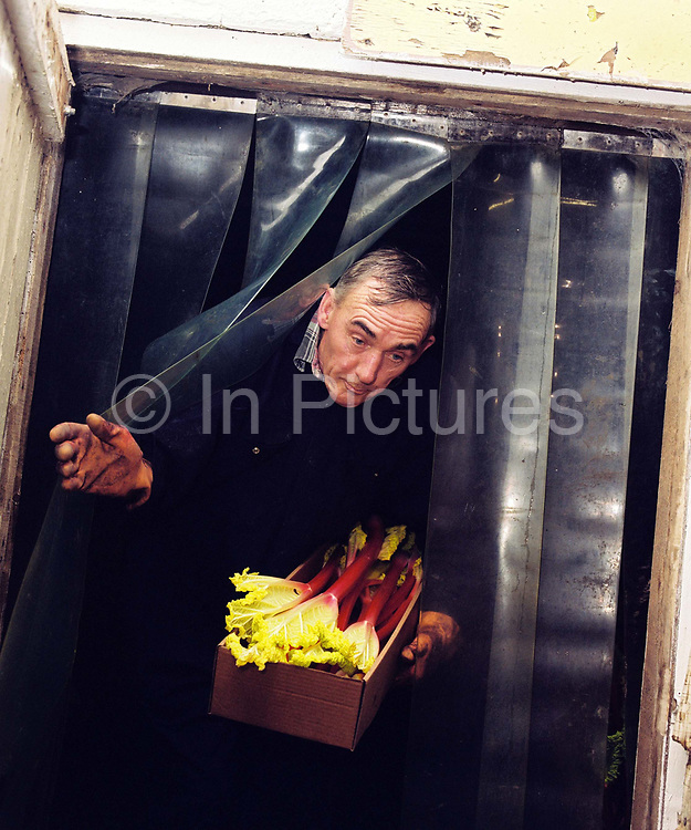David Brook coming out of the forcing shed with rhubarb selected for showing at the 82nd Annual Rhubarb Show, Caldergrove, Wakefield. February is high season for the forced rhubarb of the so-called 'Rhubarb Triangle' formed by Wakefield, Rothwell and Morley. These intensely flavoured plants with pink stems and yellow leaves - grown by candlelight and tended by hand in huge, heated forcing sheds - are one of the first culinary delights of the British winter.