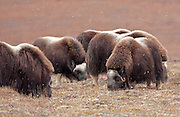 """Alaska; Muskox (Ovibos moschatus) herd feeding during an autumn snowfall on the Seward Peninsula, outside of Nome.  Muskox, called omingmak meaning """"the animal with skin lake a beard"""" by the local Inupiaq people."""