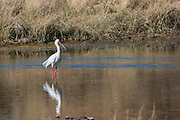 African Spoonbill (Platalea alba)<br /> Private game ranch<br /> Great Karoo<br /> SOUTH AFRICA