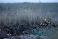 Flock of Ruddy Shelduck on a dry stream, Bagerova Steppe, Kerch Peninsula, Crimea, Ukraine
