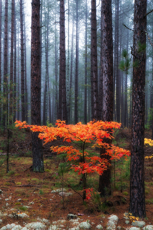 """Autumn Color in foggy forest. This image looks amazing as a stretched canvas wrap. <br /> <br /> 20"""" x 30""""  print<br /> <br /> Please contact me for custom sizes and print options including canvas wraps, metal prints, assorted paper options, etc. <br /> <br /> I enjoy working with buyers to help them with all their home and commercial wall art needs."""
