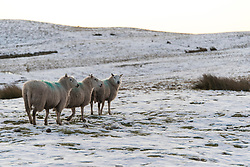 © Licensed to London News Pictures. 02/01/2021. Builth Wells, Powys, Wales, UK. Sheep on the Mynydd Epynt moorland on a freezing morning near Builth Wells in Powys, Wales, UK. Photo credit: Graham M. Lawrence/LNP