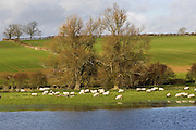 Sheep graze in flooded meadow in Windrush Valley, Burford, The Cotswolds, UK