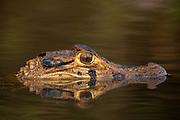 Black caiman (Melanosuchus niger)<br /> Rewa<br /> Rupununi <br /> Rainforest<br /> Guyana<br /> South America