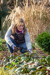 Removing old blackened bergenia leaves before they flower