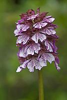 Apulia; Gargano National Park; Gargano Peninsula; Italy; Lady Orchid; Orchis purpurea