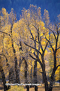 67545-07613 Cottonwood trees in fall, Lamar Valley, Yellowstone National Park, WY