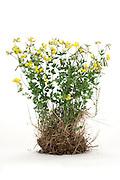 wild yellow flower plant