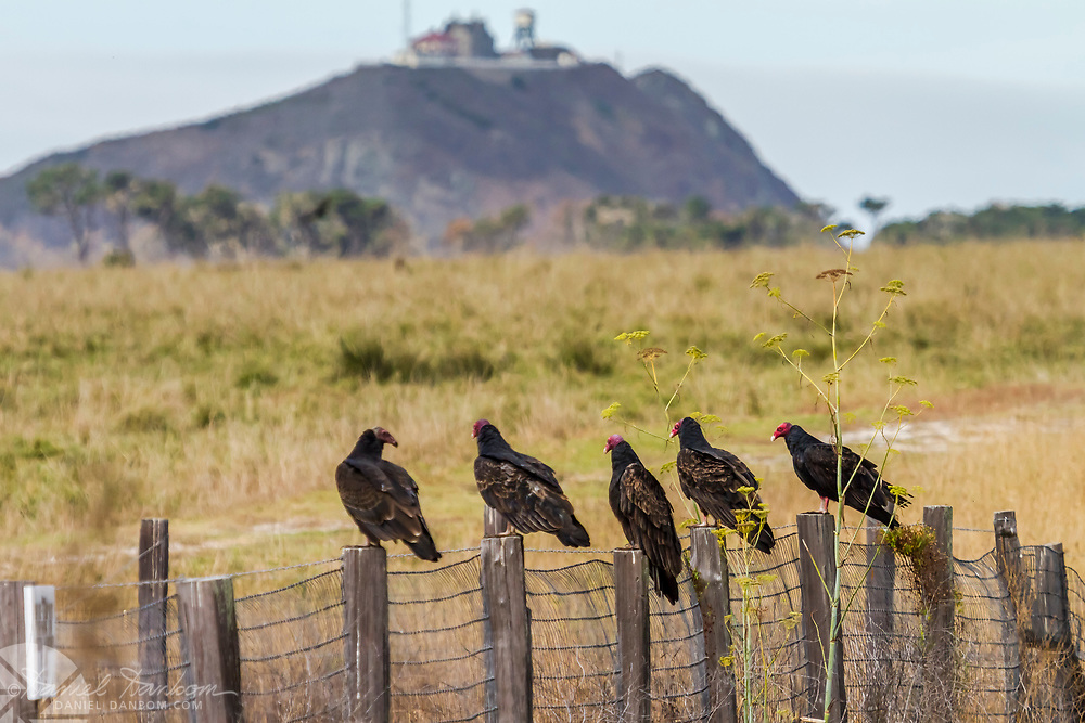 Row Turkey Vultures sitting on fence posts, Highway 1 Big Sur Coast, with Pt. Sur Rock in background