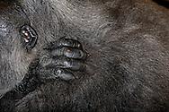 """Gorilla (Lowland Gorilla) (Gorilla gorilla gorilla), hairless ear and hand. The gorilla is one of the primates and the family of great apes (Hominidae).to which also we belong. Just a few decades, the human was not quite so clearly belong to the """"monkeys"""" and ordered the family of human (Hominidae) to, while he placed his four cousins in the separate family of the apes (Pongidae). Of these, one is now abandoned: Today human, gorilla, chimpanzee and the bonobo belong to family Hominidae and only orang-utan belongs to family Pongidae, as the genetic """"distance"""" of the people to the red Asian apes about twice as big as that is one of the three black African primate species. Habitat: African rain forests, secondary forests and hills..The coat is (like the mountain gorilla) black. Older males are characterized by a silver staining of the skin (""""Silverback""""). Strong hairy arms and legs, chest thin haired - almost like the """"naked ape"""". Krefeld, North Rhine-Westphalia, Germany.This picture is part of the series """"Creature's Coiffure""""..Gorilla (Flachlandgorilla) (Gorilla gorilla gorilla).Unbehaartes Ohr und unbehaarte Hand eines Gorillas in seiner behaarten Umgebung. Der Gorilla gehoert zu den Primaten und der Familie der Menschenaffen (Hominidae),.zu der auch wir gehoeren. Noch vor wenigen Jahrzehnten wollte sich der Mensch allerdings nicht ganz so eindeutig zu den «Affen» zaehlen und ordnete sich der Familie der Menschen (Hominidae) zu, waehrend er seine vier Vettern in die separate Familie der Menschenaffen (Pongidae) stellte. Davon ist man inzwischen abgekommen: Heute fasst man den Menschen, den Gorilla, den Schimpansen und den Bonobo in der Familie Hominidae zusammen und verweist nur noch den Orang-Utan in die Familie Pongidae, da der genetische «Abstand» des Menschen zum roten asiatischen Menschenaffen etwa doppelt so gross ist wie derjenige zu den drei schwarzen afrikanischen Primatenarten. Lebensraum: Afrikanische Regenwaelder, Sekundaerwaelder und Huegellandschaften.."""