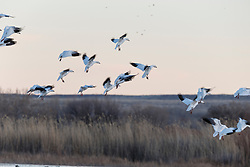 Snow geese in flight landing in marsh at dusk, Bosque del Apache, National Wildlife Refuge, New Mexico, USA.