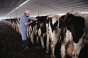 "Maddox Dairy in Riverdale, California. Artificial insemination. Maddox Dairy is currently home to 3500 milking cows, calves, heifers and bulls. The dairy is a ""birth to milking operation"", with four, double-12, pregnant herringbone-milking parlors, free stall barns, calf raising barn and calving facilities. The dairy does their own embryo transfer work and markets their genetics worldwide. The Maddox Dairy was honored in 2001 with the Distinguished Dairy Cattle Breeder award for being a ""Visionary Holstein Breeder"", having bred more than 330 Gold Medal Dams, 502 Excellent cows, and their advancements in gene research for the Dairy industry. ."