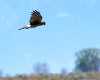 Northern Harrier (Circus hudsonius). Alamosa National Wildlife Refuge, Colorado. Image taken with a Nikon D300  camera and 80-400 mm VR lens