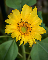 Sunflower bloom at an urban farm in St. Petersburg, Florida. Image taken with a Leica T camera and 55-135 mm lens (ISO 200, 135 mm, f/4.5, 1/500 sec).