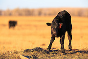 Calf in early spring, Montana.
