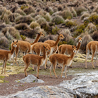 The vicunas live in family-based groups. In the late 1960's this shy animals were hunted to near extinction for their expensive wool. After international trade restrictions the population has recovered.