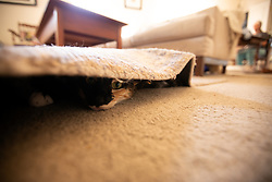 Zelda the cat hides out under the area rug in the living room of her Oakland, Calif. home, Friday, Oct. 16, 2020. (Photo by D. Ross Cameron)