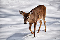 Young deer wondering when winter will be over. Image taken with a Nikon D5 camera and 80-400 mm VRII lens (ISO 320, 240 mm, f/5.3, 1/2000 sec).