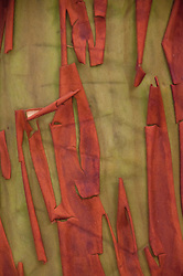 Madrona (Arbutus menziesii) Bark, Stuart Island, Washington, US