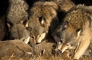 Timber or Grey Wolf, Canis Lupus, Minnesota USA, controlled situation, in autumn, wolf pack on deer kill