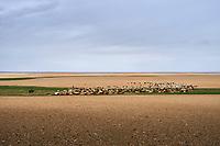 Mongolie, province de Bayankhongor, troupeau de chèvre dans le desert de Gobi // Mongolia, Bayankhongor province, flock of goat in the Gobi desert