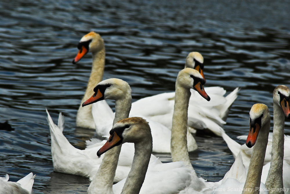 Swans, Ducks and Geese as seen at a pond by Linlithgow Palace in Scotland during Summer 2009.