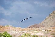 A Laysan Albatross soars near the ground.