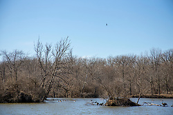 An American Bald Eagle (Haliaeetus leucocephalus) soars of a small pong occupied by Canadian Geese (Branta canadensis)