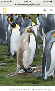 Rare king penguin photographed by Jeff Mauritzen and appearing in National Geographic online article.