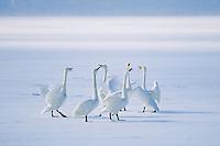 Whooper swans vocalize on frozen Lake Kussharo.