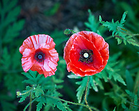 Pair of Red Poppy flowers. Backyard spring nature in New Jersey. Image taken with a Fuji X-T2 camera and 60 mm f/2.4 macro lens (ISO 200, 60 mm, f/2.8, 1/160 sec).