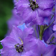 7/23/07 -- CUMBERLAND, Maine.  British Delphiniums come up strong in Cumberland, Maine at the Home of Dougald and Helena MacDonald. Photo by Roger S. Duncan.  ...