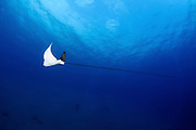 Israel, Eilat, Red Sea, - Underwater photograph of a manta ray (Manta birostris) The exceptionally long tail is visible